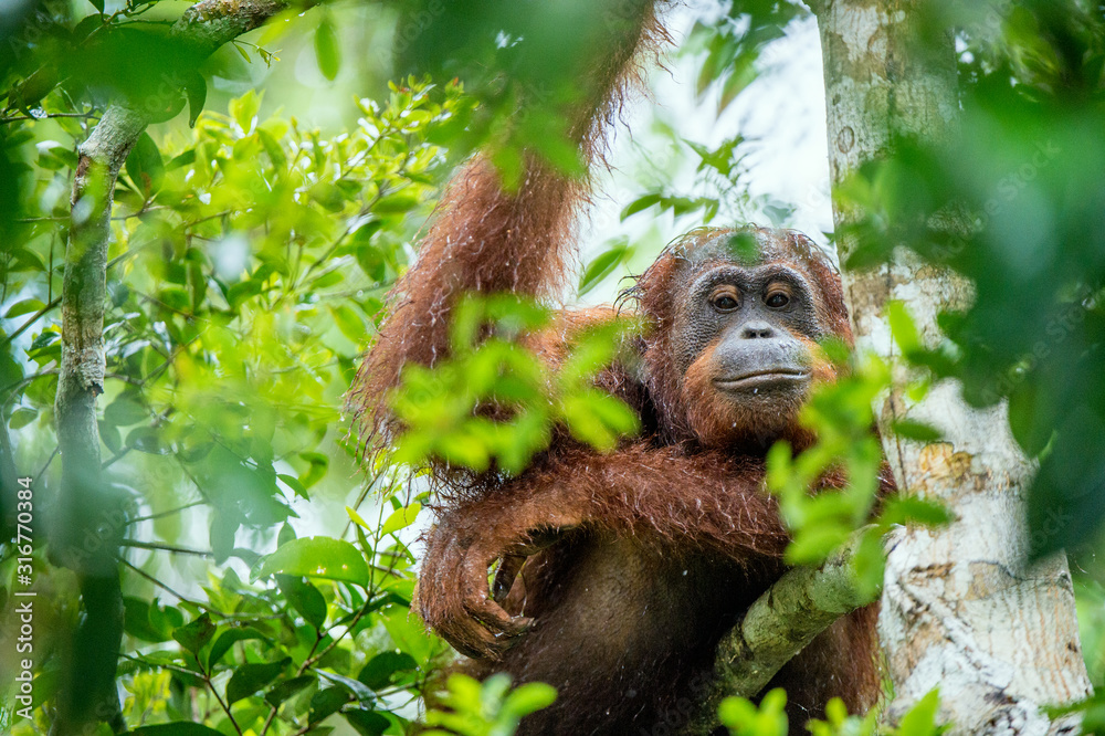 Fototapeta Bornean orangutan on the tree under rain in the wild nature. Central Bornean orangutan ( Pongo pygmaeus wurmbii ) on the tree in natural habitat. Tropical Rainforest of Borneo.Indonesia