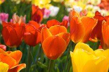 Colorful Closeup View Of Tulips In Bright Red Orange And Yellow Colors