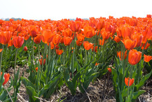 View Of Orange Red Tulip Field...