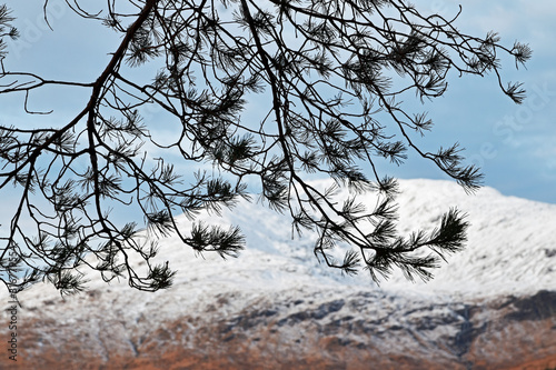 Vászonkép Caledonian pine tree branches with snowy mountain blurred in background