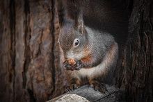 Cute And Funny Squirrel Advent...