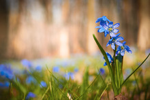 Beautiful Spring Scilla Flower...