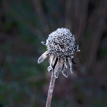 A Dead Rudbeckia Seedhead In Winter Covered In Frost