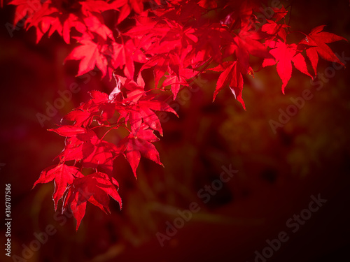 Photo Red Acer palmatum leaves glowing in autumn sunlight
