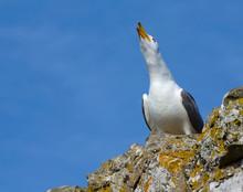 Seagull Screaming It's Throat ...