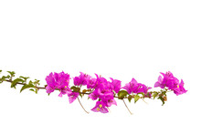 Bougainvilleas Branch Isolated...