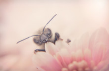 Honey Bee And Autumn Chrysanth...