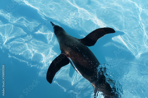 Fototapeta Penguin swimming in the pool obraz