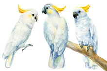 Set Of Parrots, White Cockatoo On An Isolated White Background, Watercolor Drawing, Clipart Tropical Birds