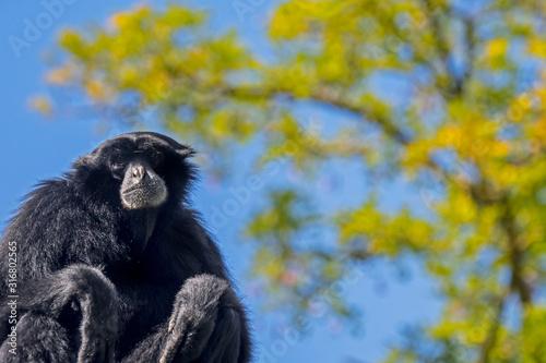 Photo Siamang (Symphalangus syndactylus), arboreal black-furred gibbon native to the f