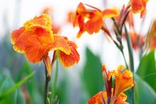 Blooming Orange Canna Or Canna...