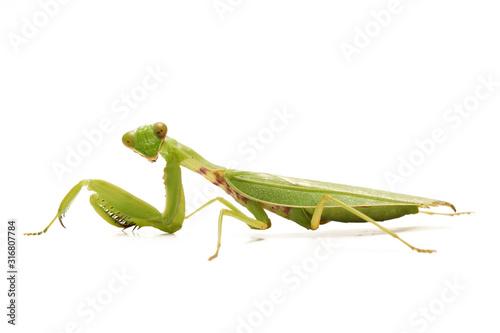 Fototapeta Giant Asian Green Praying Mantis (Hierodula membranacea) isolated on white background