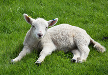 White Wooly Lamb Resting In Th...