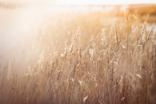 Dry Grass And Reeds In The Landscape, Beautiful Natural Yellow Background, Sun