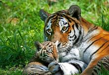 TIGRE DE SIBERIE Panthera Tigris Altaica