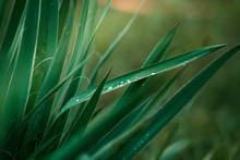Rain Drops On A Yucca Plant . ...