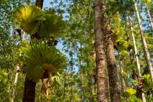 Hanging Staghorn Fern Parasite On Fraser Island Great Sandy National Park, Queensland Australia.