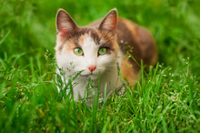 White Cat With Brown Spots And...