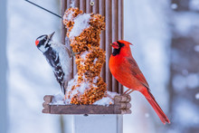 Woodpecker And Cardinal Birds ...