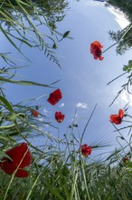Low Angle View Of Red Poppies In The Grass