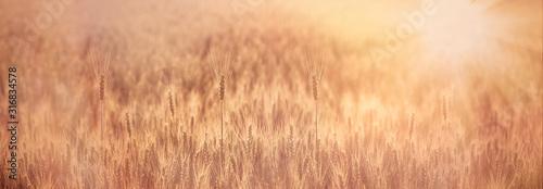 Obraz Wheat field lit by sunrays, selective focus on ear of wheat - fototapety do salonu