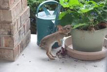 Teen Rabbit Eating Geranium Pl...