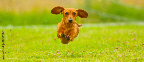 Obraz Miniature Dachshund Dog - fototapety do salonu