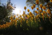 Tulip And Tulips In Garden