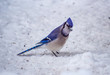 Curiousity - bluejay in the snow