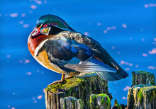 Male Wood Duck Juanita Bay Par...