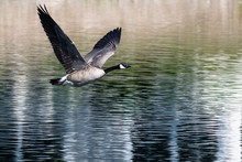Canada Goose Flying Low Over T...