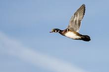 Wood Duck Flying In A Blue Sky