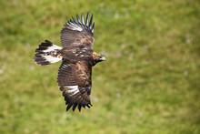 Golden Eagle, Aquila Chrysaeto...