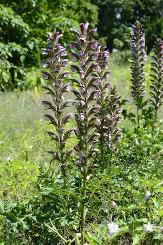 Closeup acanthus mollis known as bear breeche with blurred background in summer Canvas Print