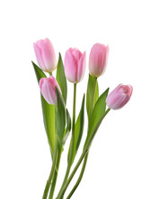 Pink Tulip Flowers Isolated Wi...