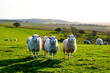 four sheep in a row in a field looking at the camera