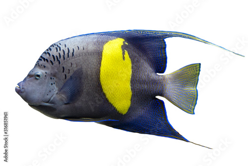 Photo Tropical coral fish Yellowband  angelfish  Pomacanthus maculosus isolated on whi