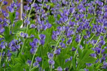 Baptisia Australis, Commonly K...