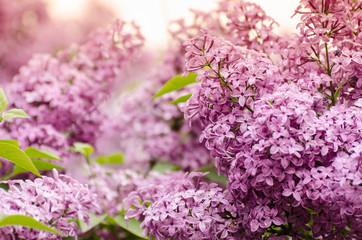 Beautiful purple lilac flowers. Macro photo of lilac spring flowers.