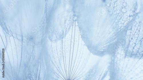 Beautiful dew drops on a dandelion seed macro. - 316864159