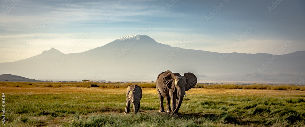 Fototapeta elephants in front of kilimanjaro
