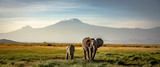 Fototapeta Zwierzęta - elephants in front of kilimanjaro