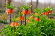 Blooming Crown Imperial In Spr...