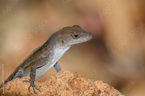 Closeup of a small Agamas standing on a plant in a garden with a blurry backgrou Canvas Print