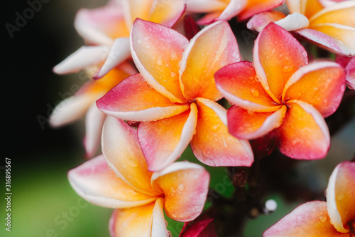 Obraz Plumeria flower.Pink yellow and white frangipani tropical flora, plumeria blossom blooming on tree.	 - fototapety do salonu