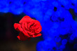 canvas print picture - Red rose placed on a light blue bokeh Background design for you