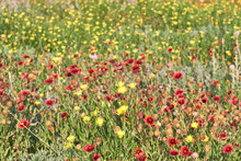 A Field Of Texas Wildflowers -...