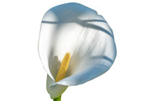 White Calla Flower Isolated On...