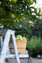 Basket Of Fresh Picked Apples ...