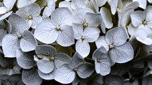 Lot Of Beautiful White-petaled...